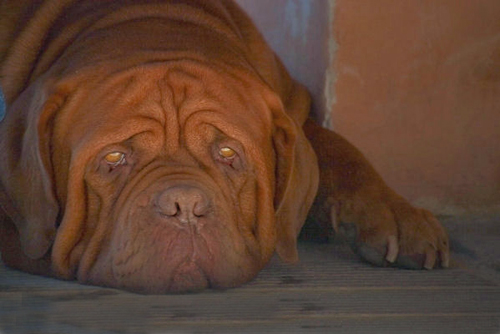 Dog_Bordeaux